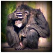 embarrassed_chimpanzee